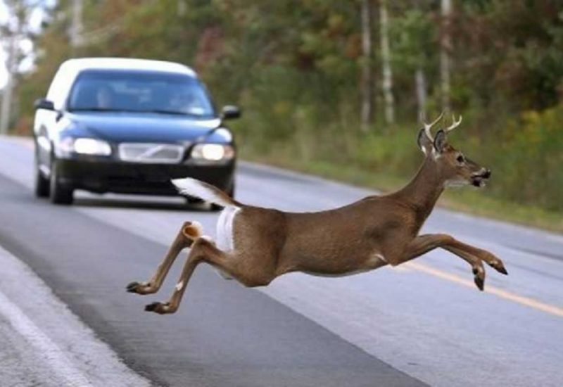 Tips to Avoid Collisions with Crossing Animal